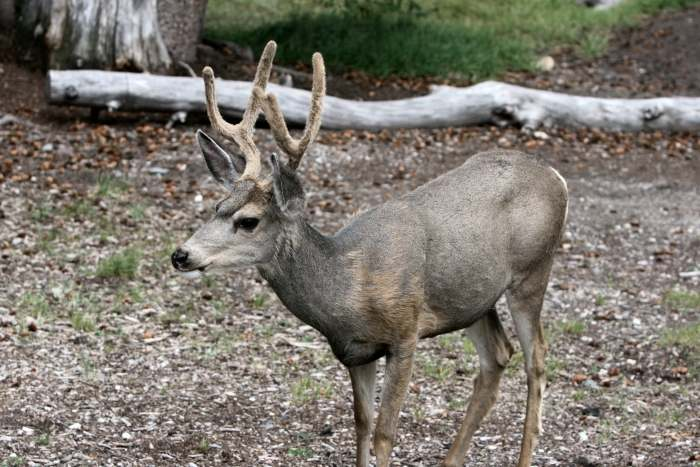 WheelerDeer