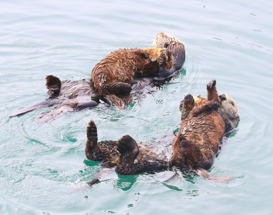 SeaOtters